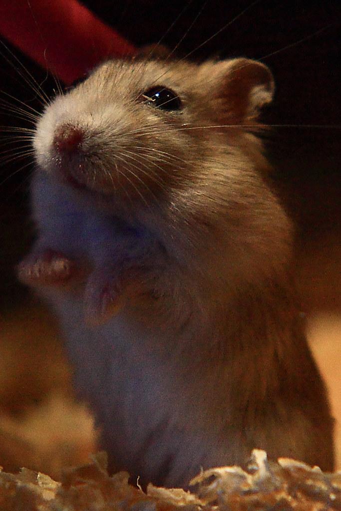 33焦糖布丁鼠「鼓鼓力三郎」0919-089749鄭適雲~嚙齒類動物行為與心理 | 焦糖布丁鼠「鼓鼓力三郎」0919-0… | Flickr