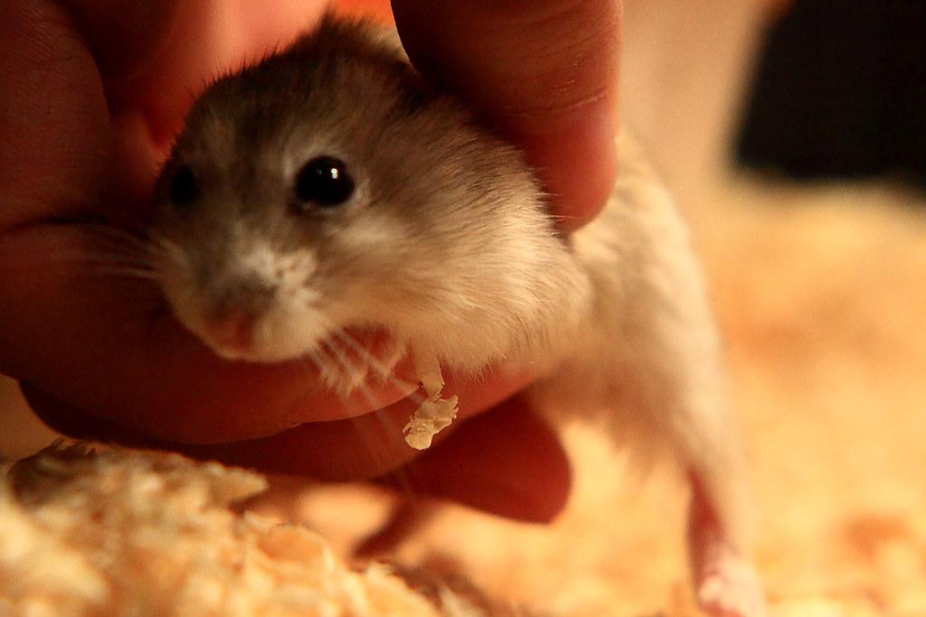 46焦糖布丁鼠「鼓鼓力三郎」0919-089749鄭適雲~嚙齒類動物行為與心理 | 焦糖布丁鼠「鼓鼓力三郎」0919-0… | Flickr