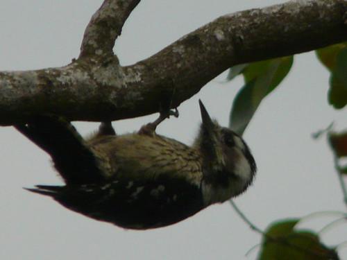 這招叫做:金勾倒掛(小啄木) | 一群的鳥兒,在枝枒間飛跳嬉戲:小啄木,雄的黃尾鴝,白頭翁… | 翔鶴 | Flickr