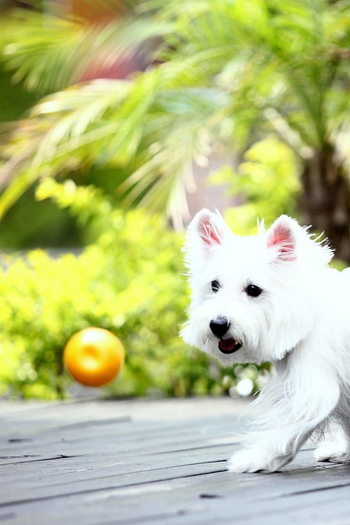 3西高地白梗妹妹「奈米曼母」2009/04/01鄭適雲0919-098749 | (文•鄭適雲)判斷寵物美容師「技術拙劣… | Flickr