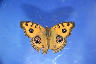 孔雀蛺蝶 3840 孔雀蛺蝶 Junonia almana. 070910 | 隆華國小 動物 鱗翅目 Lepidopt… | Flickr