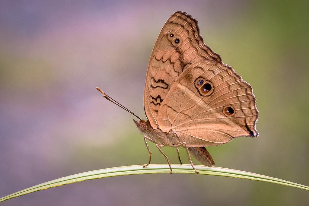 孔雀蛺蝶 Junonia almana | Jeff Chang@khh | Flickr