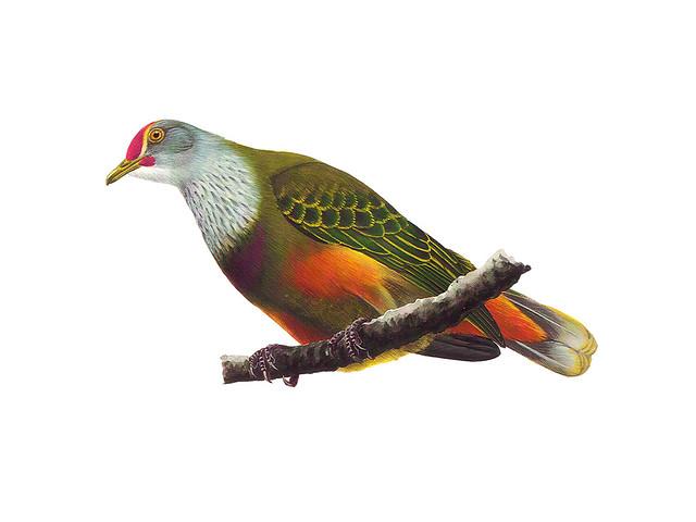 Tottot (Mariana Fruit Dove)