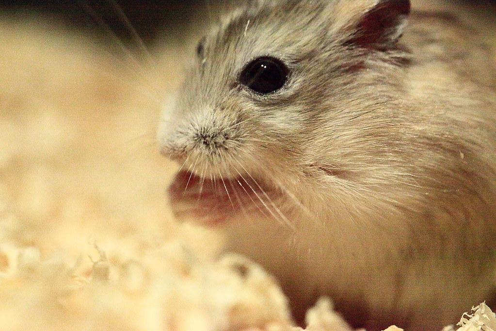 20焦糖布丁鼠「鼓鼓力三郎」0919-089749鄭適雲~嚙齒類動物行為與心理 | 焦糖布丁鼠「鼓鼓力三郎」0919-0… | Flickr