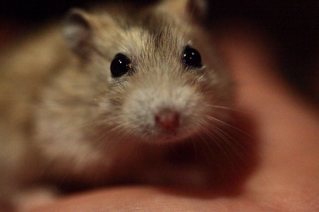 26焦糖布丁鼠「鼓鼓力三郎」0919-089749鄭適雲~嚙齒類動物行為與心理 | 焦糖布丁鼠「鼓鼓力三郎」0919-0… | Flickr