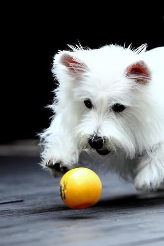 7西高地白梗妹妹「奈米曼母」2009/04/01鄭適雲0919-098749 | (文•鄭適雲)判斷寵物美容師「技術拙劣… | Flickr