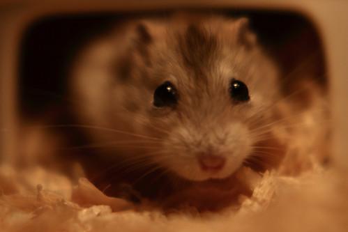 43焦糖布丁鼠「鼓鼓力三郎」0919-089749鄭適雲~嚙齒類動物行為與心理 | 焦糖布丁鼠「鼓鼓力三郎」0919-0… | Flickr