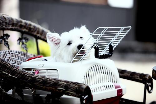 24西高地白梗妹妹「奈奈子」2009/04/01鄭適雲0919-098749 | (文•鄭適雲)判斷寵物美容師「技術拙劣… | Flickr