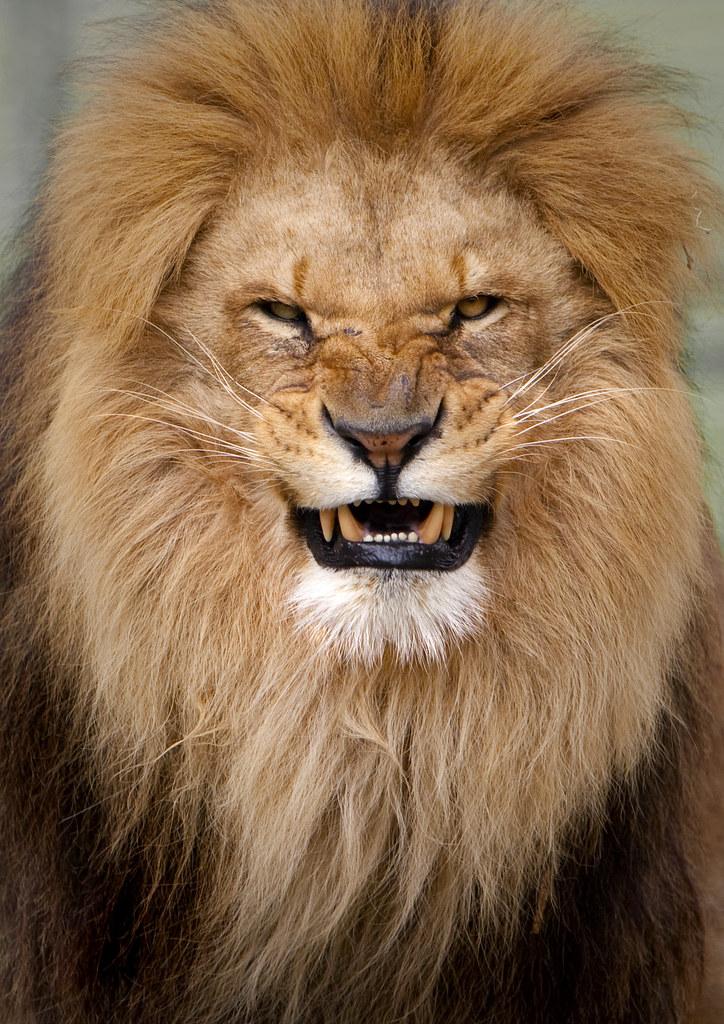 an angry lion stuart