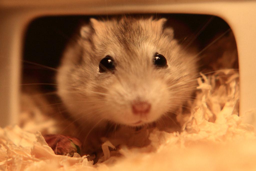39焦糖布丁鼠「鼓鼓力三郎」0919-089749鄭適雲~嚙齒類動物行為與心理 | 焦糖布丁鼠「鼓鼓力三郎」0919-0… | Flickr