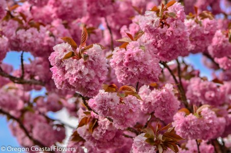 Pink Cherry Branches-4-2