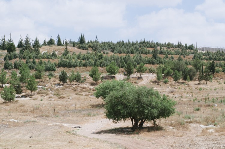 Trees in the Ben Shemen forest in central Israel