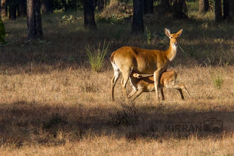 Barasingha deer @kanha National Park
