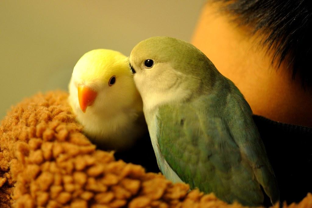 TCY_9978   牡丹鸚鵡-艾莉絲與小綠綠   蘇州一隅   Flickr