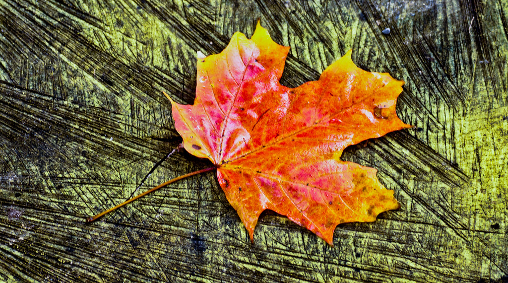 Sign of things to come   Lone leaf fallen on the tree stump   Flickr