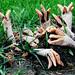 Lizard's Claw Fungus