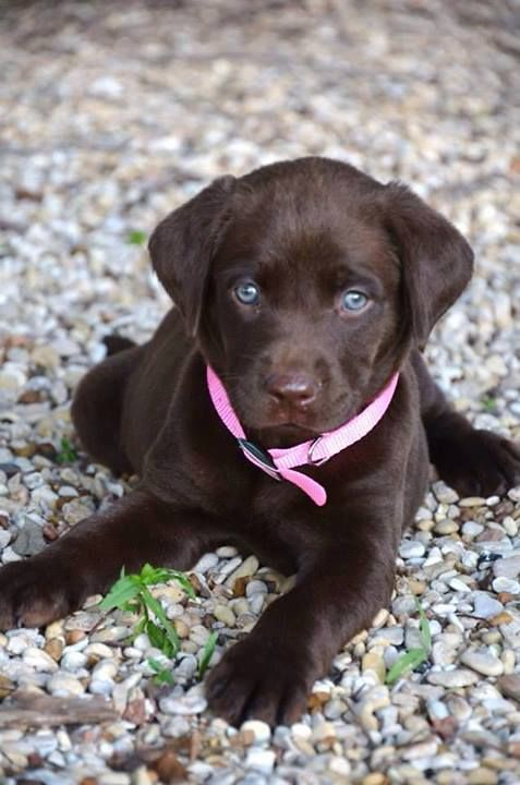 cute chocolate lab puppies
