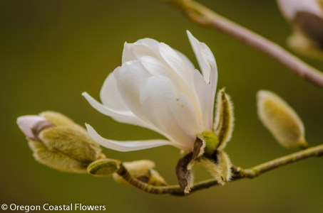 White Tulip Magnolia Flowering Branches