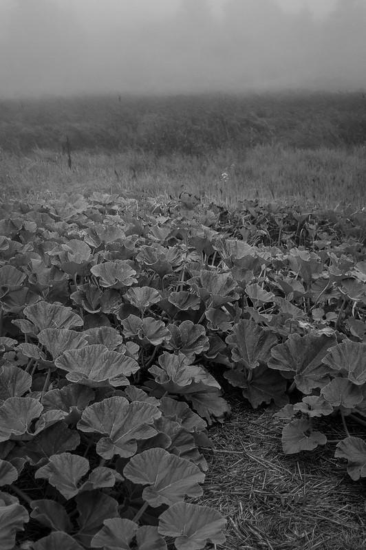 pumpkin patch, meadow, fog, Monhegan, Maine, Nikon D40, nikon nikkor 105mm f-4, 9.21.14
