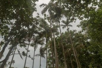 In deze dunne boompjes groeit bovenin de betelnoot, om te oogsten zit er dus niks anders op dan klimmen.