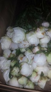 White Peony upon arrival