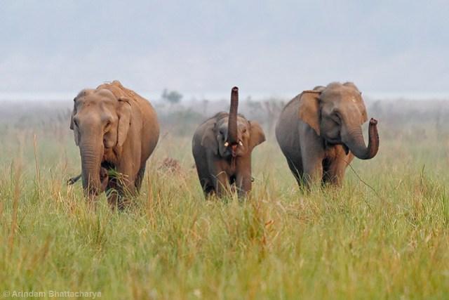 Asiatic Elephant | Jim Corbett National Park. !!!!