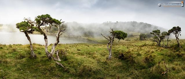 Juniper trees in foggy light