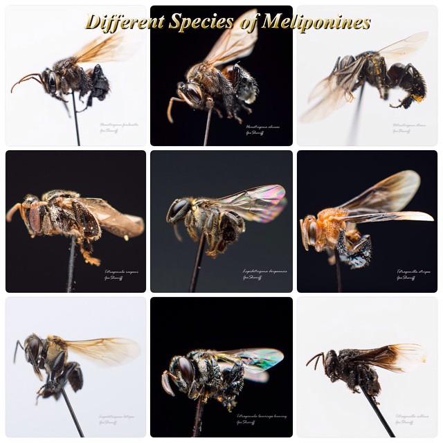 different species of stingless