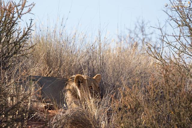Kalahari Lion (female)