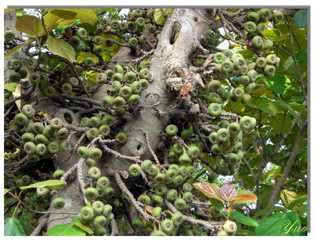 水同木果實 | 永和社大社區資訊社 | Flickr
