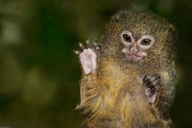 pygmy marmoset