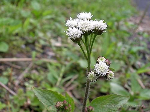 DSCN8672S | 白花藿香薊 英文:Tropic Ageratum. Floss Flower 學名:Agerat… | Flickr