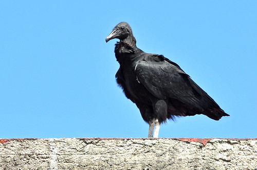 Mexico-6706 - Black Vulture (large is good)
