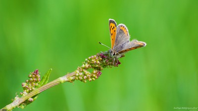 Small Copper Butterfly (16:10 Wallpaper)