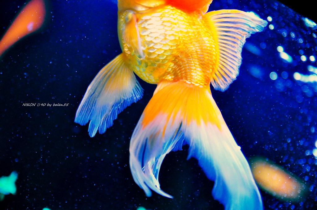 魚ㄦ魚ㄦ水中遊~ | 香港海洋世界裡的金魚館~ 很多古怪的金魚~ 這隻是無頭的~ 哈 | 阿偉 | Flickr