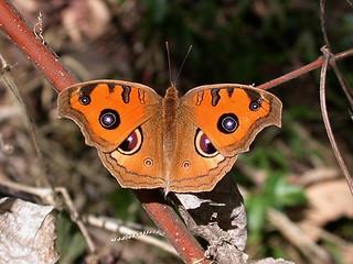 昆蟲專欄_夏衣豔冬裝素的孔雀蛺蝶(Junonia almana) | 這張照片原載於《環境資訊中心》網站。 關於照片的文 ...