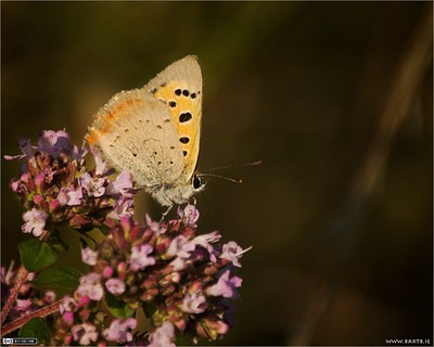 Small Copper Butterfly in Evening Light