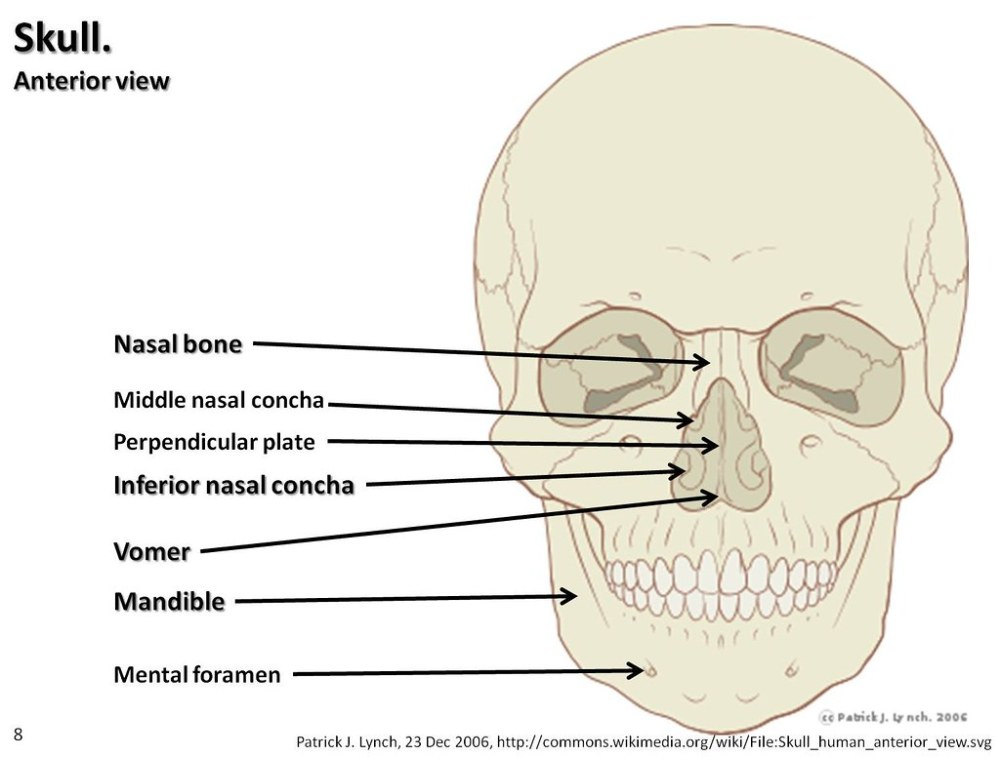 medium resolution of  page skull diagram anterior view with labels part 3 axial skeleton visual atlas page