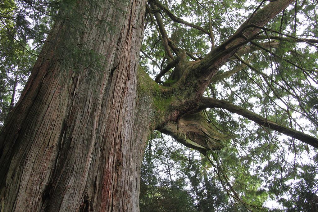 檜山巨木 | 攝於觀霧國家森林遊樂區. 其分支宛如鹿頭. | 賞景者 Jeff Lin | Flickr