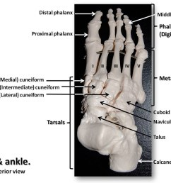 bones of the foot and ankle superior view with labels appendicular skeleton visual atlas [ 1024 x 809 Pixel ]