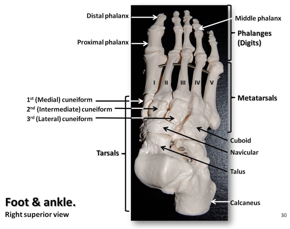 medium resolution of  bones of the foot and ankle superior view with labels appendicular skeleton visual atlas