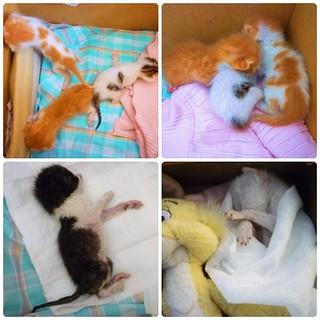 小幼貓需要中途媽媽或想認養的人! | 某天去散步的時候聽到小貓一直叫,才發現有五隻幼貓,根據獸醫判斷 ...