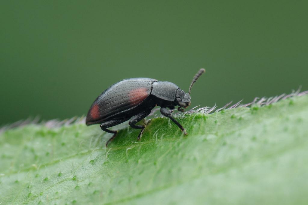 錐尾擬迴木蟲 Plamius quadrinotatus (Pic, 1925 )   (擬步行蟲科)體長5.2mm,小…   Flickr