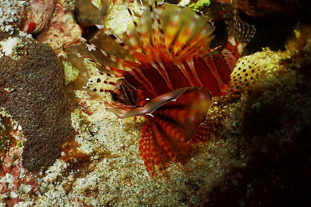 P420015002斑馬紋多臂簑鮋   OLYMPUS DIGITAL CAMERA   tonypan-tw   Flickr