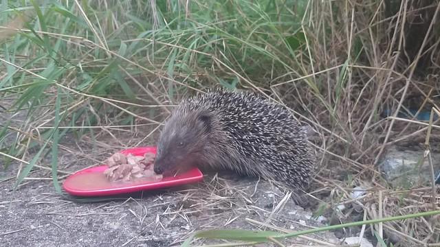 A delightful hedgehog encounter.