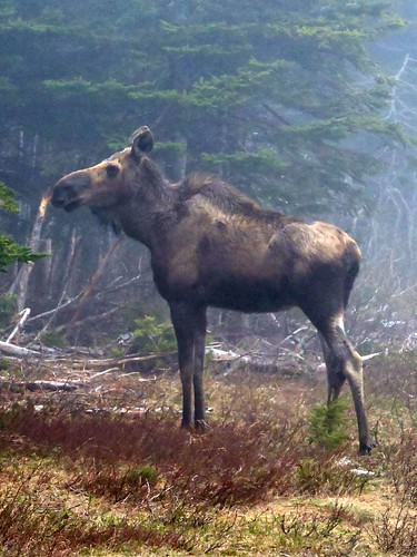 Female moose | I photographed a moose! First time for everyt… | Flickr