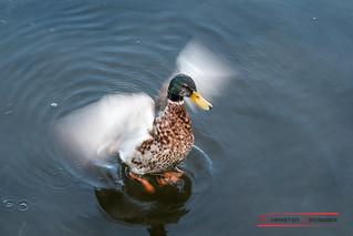Mallard duck (Anas platyrhynchos)