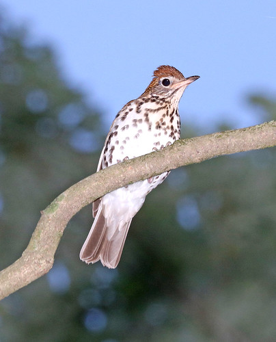 746 - WOOD THRUSH (6-10-2017) howell woods learning center, johnston co, nc -01 (1)