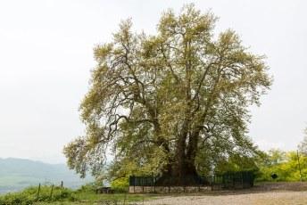 Vlakbij Karmir Shuka staat deze 2000 jaar oude boom.