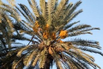 Op de binnenplaatst staan een heleboel palmbomen met dadels. Zelf hou ik niet zo van die zoete dingen.